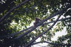gibbon 02