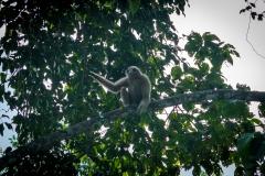 gibbon 03